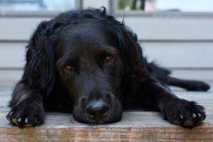 image-black-dog-reclining-black-dogs